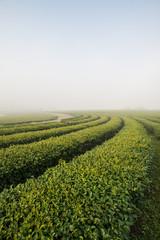 Green tea field in the morning fog