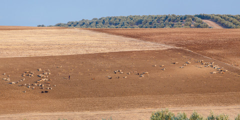 Herders met schapen, Marokko