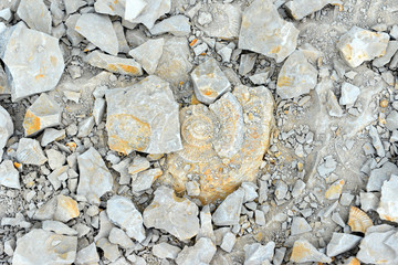 Ammonite fossil in limestone rock