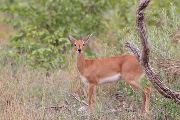 steenbok mammifero selvaggio della savana africa