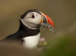 Atlantic puffin with mouth full of sand eels