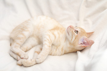Ginger cat lying