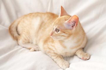Ginger cat on blanket
