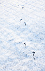 Bird footprints in the snow