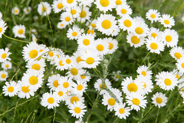 daisy flower meadow