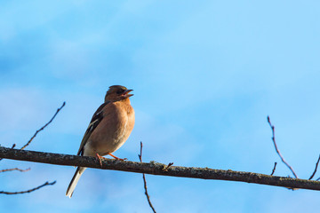 Chaffinch singing on a branch