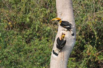A couple of Great hornbills searching for their nest