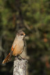 Portrait of Siberian Jay