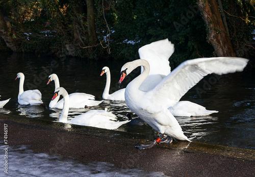 Fotobehang Beautiful swans on a lake
