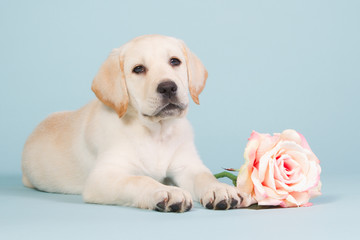 Labrador puppy with a pink rose