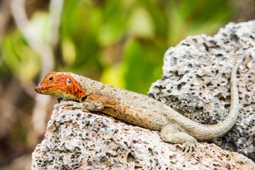 Galapagos Lava Lizard, Isabela island