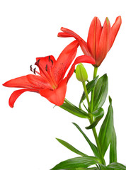 Red lily flowers isolated on white background