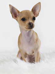 Chihuahua mexican dog sitting on the carpet