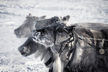 Muzzle reindeer in frost. Yamal. Shallow depth of field