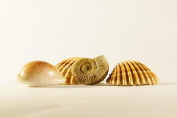 Muscheln mit Ammonit