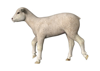 Trotting Lamb
