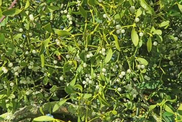 boule de gui dans un arbre