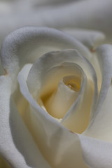 Close up view of a beautiful white rose.