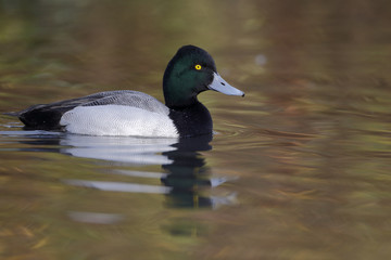 Greater scaup, Aythya marila