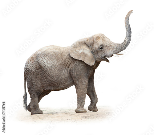 In de dag Afrika Young female of The African elephant (Loxodonta africana).