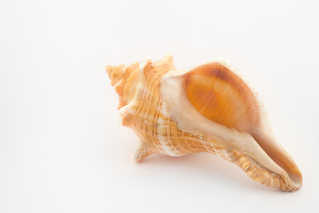 tropical shell