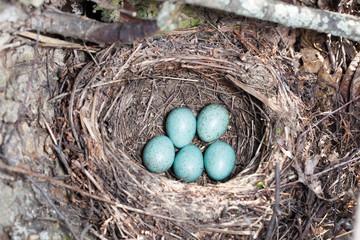 Nest. Turdus merula, Blackbird.