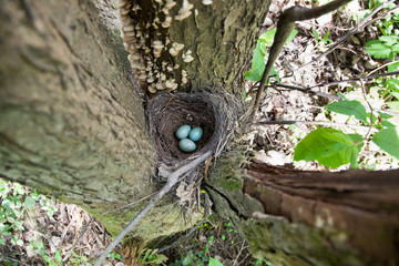 Nest with eggs. Turdus merula, Blackbird.
