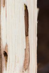 Round Headed Borer larva in oak firewood