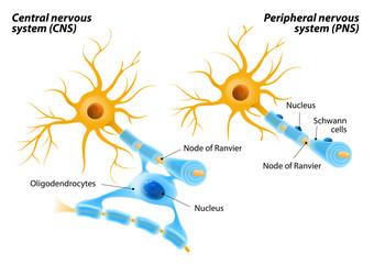 Schwann Cells and Oligodendrocytes