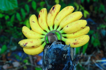 Bananas are a popular fruit of Thailand.