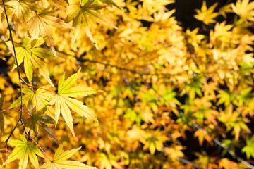 イロハカエデの黄葉のアップ