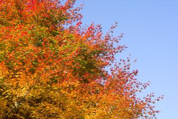 イロハカエデの紅葉と青空