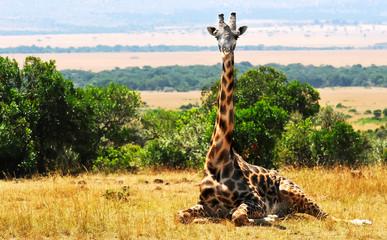 Giraffe on the Masai Mara in Africa