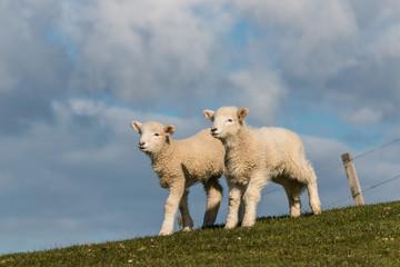 curious newborn lambs