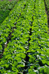 Napa cabbage-1