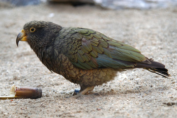 Kea parrot (Nestor notabilis).