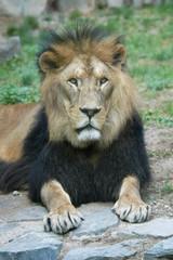 Barbary lion (Panthera leo leo)..