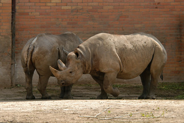 Black rhinoceros (Diceros bicornis)..