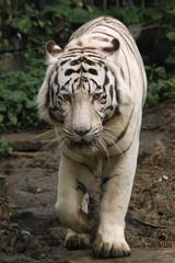 White tiger (Panthera tigris tigris)..