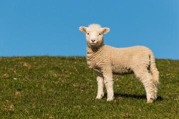 curious lamb against blue sky