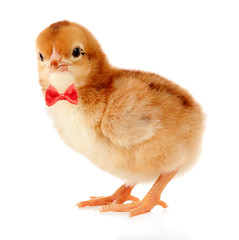 Little cute chicken isolated on white