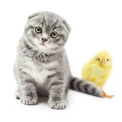 Kitten and cute little chicken