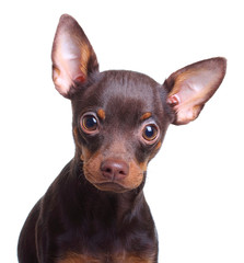 Young toy terrier dog isolated