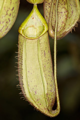 The Nepenthes or Monkey cup plant also known as Meat-eating plan
