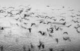 Seagulls in motion, black and white fine art image