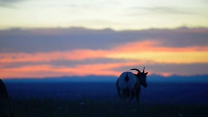 Bighorn Sheep against Sunset Sky Badlands National Park South Da