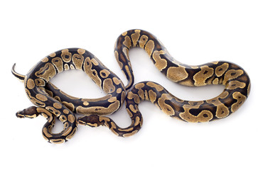 Python regius