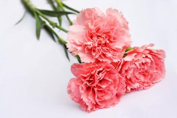 Mooie  roze Anjers rozen op witte achtergrond