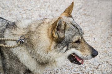 Maschio di cane lupo cecoslovacco
