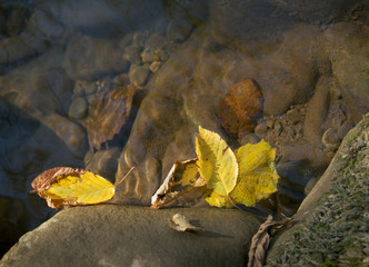 yellow autumn leaves on the water surface